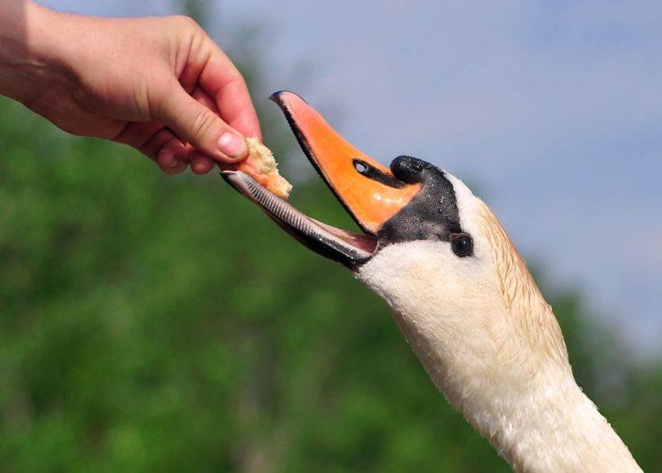 Рацион питания лебедей