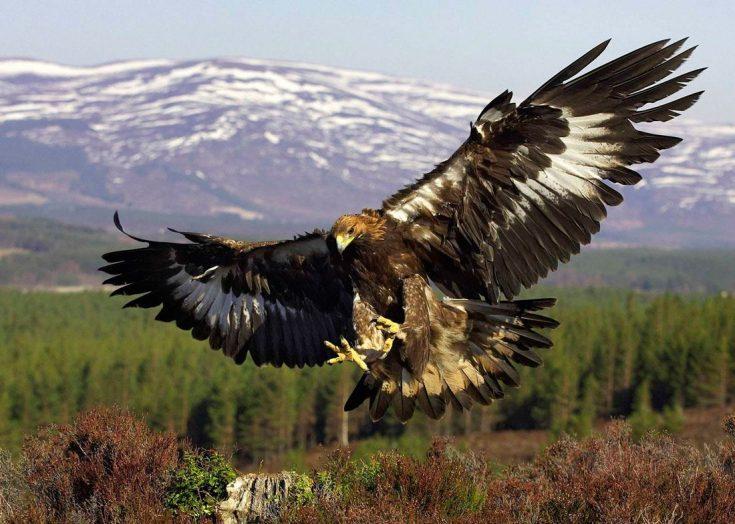 Природные враги орлов