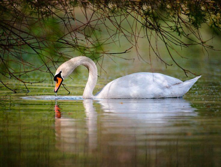 Лебедь