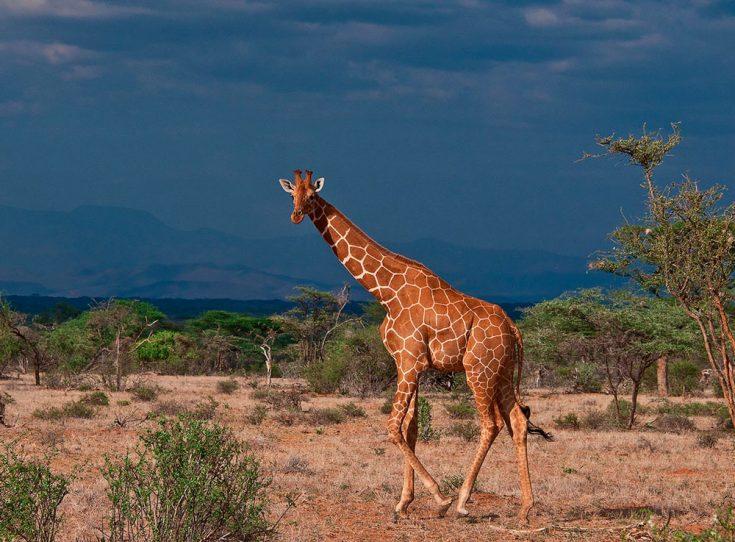 Сколько живут жирафы