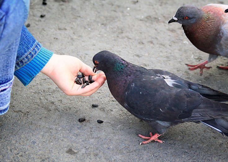 Рацион питания голубей