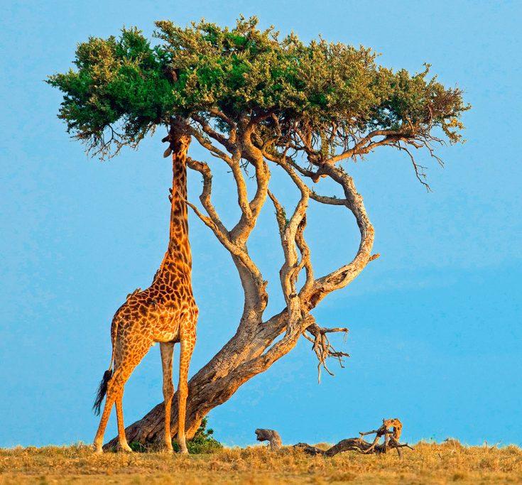 Рацион питания жирафов