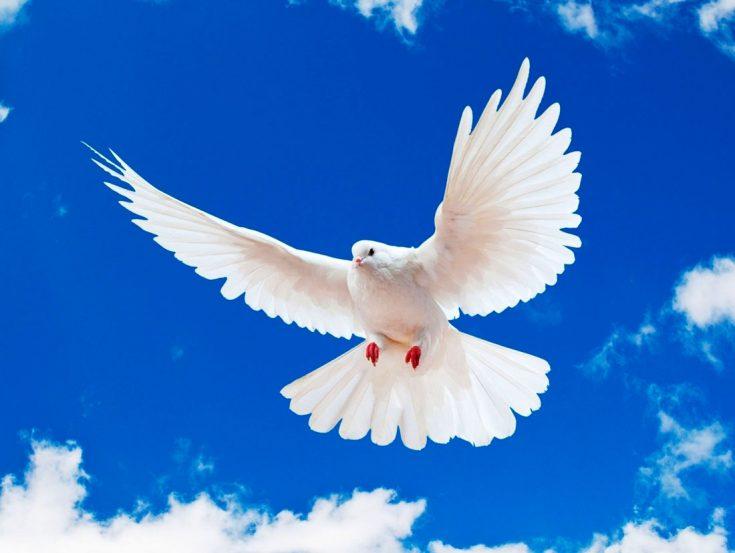 Почему голубя считают птицей мира