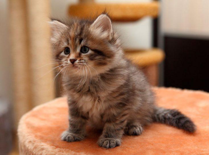 Цена сибирской кошки
