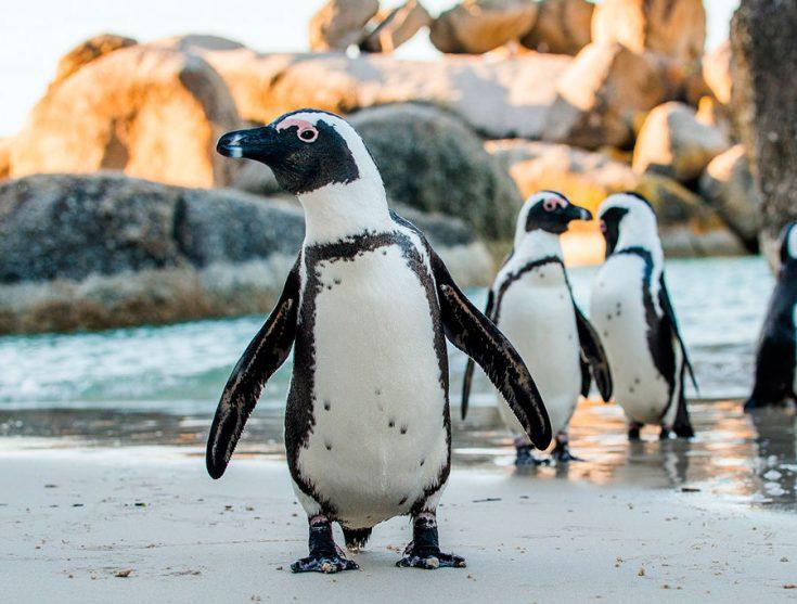 Очковые пингвины