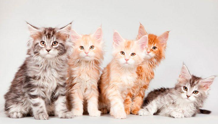 Цена кошки породы мейн-кун