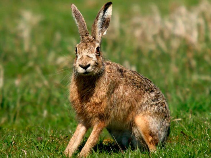 Сколько живет заяц