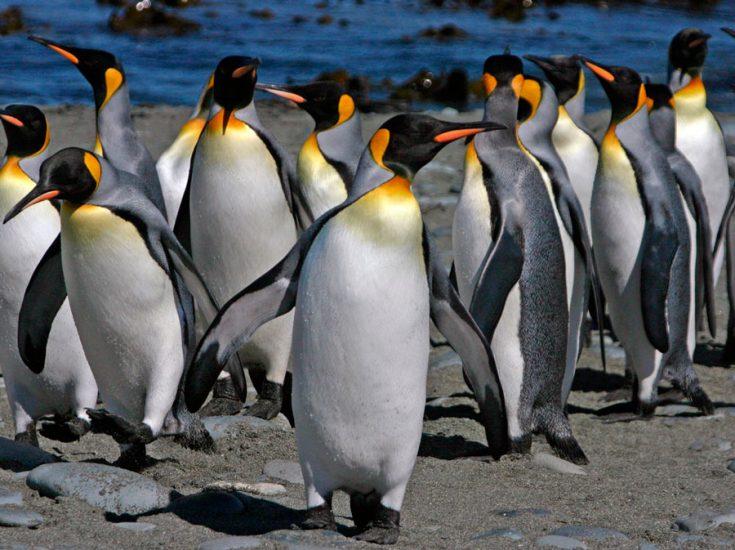 Большие пингвины