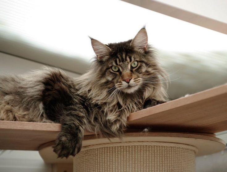 Характер кошки мейн-куна