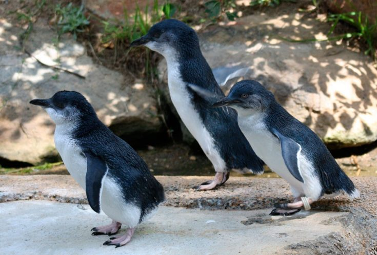 Малые пингвины