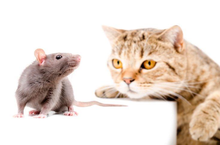 Крыса и кошка