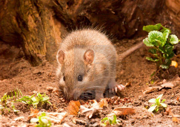 Крыса виды
