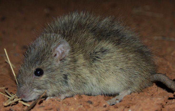 Длинноволосая крыса