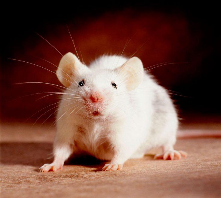 Зачем заводить крысу дома