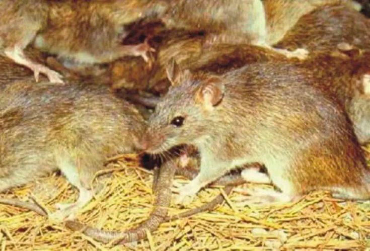 Серебристобрюхая крыса
