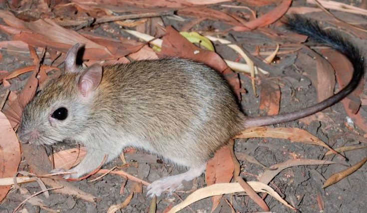 Пушистохвостая кроличья крыса