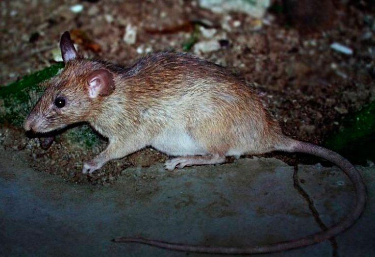 Мягкошёрстная крыса