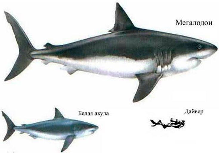 Размеры мегалодона