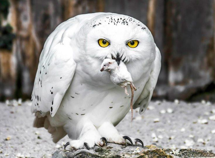 Рацион питания полярной совы