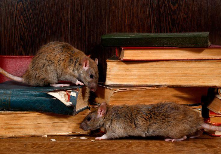 Крысы и книги