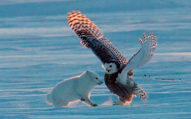 Природные враги полярных сов