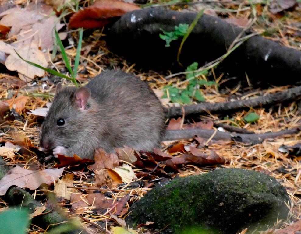 внимание всего лесные крысы фото станут украшением стола