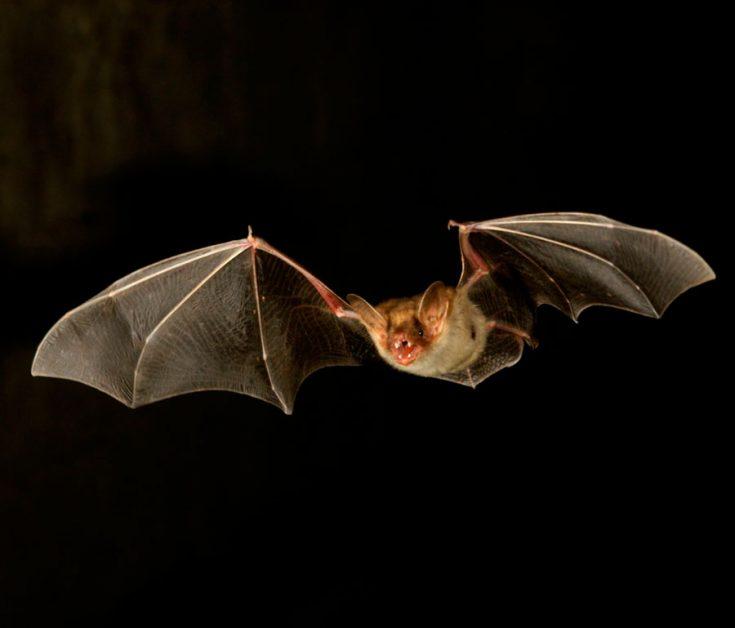 Летучая мышь это зверь или птица