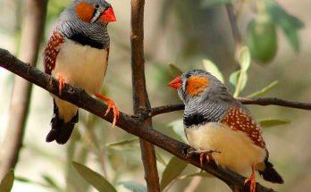 Птицы амадины