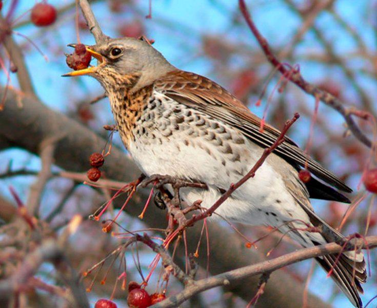 Что едят дрозды в природе
