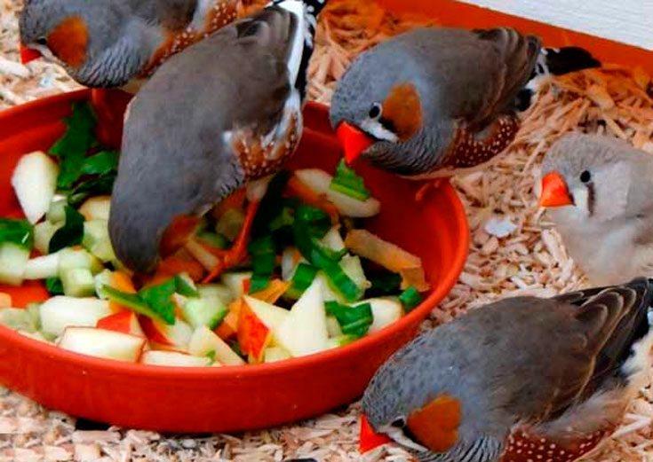 Что едят амадины