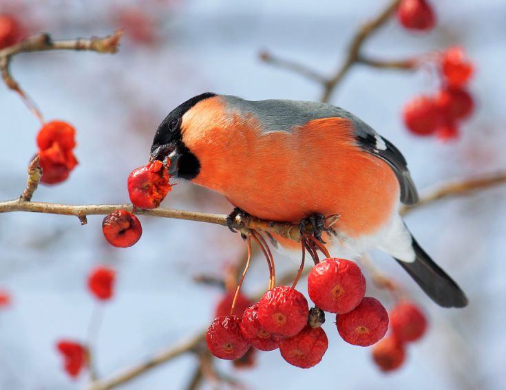 Что едят снегири