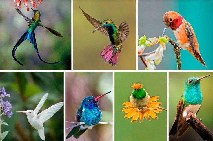 Виды колибри