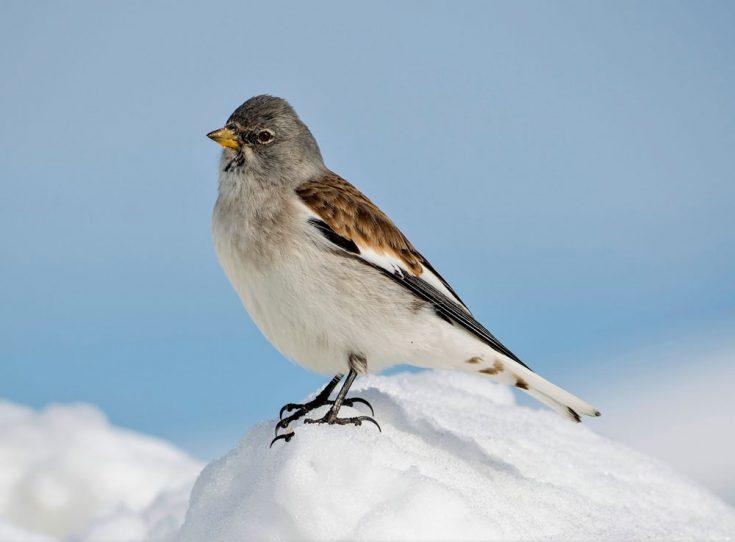 Снежный воробей