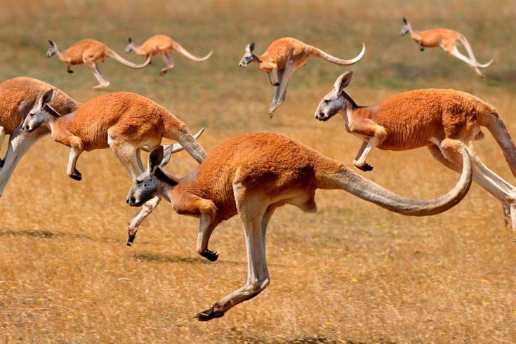 Большим рыжим кенгуру