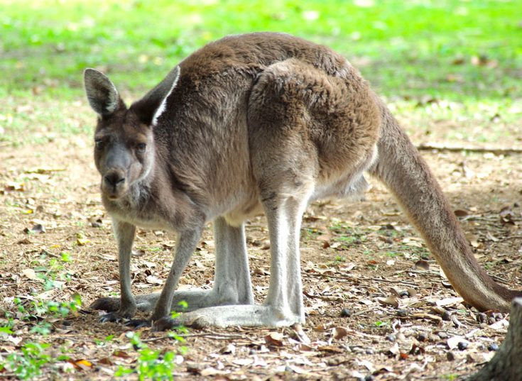 Лесным серым кенгуру