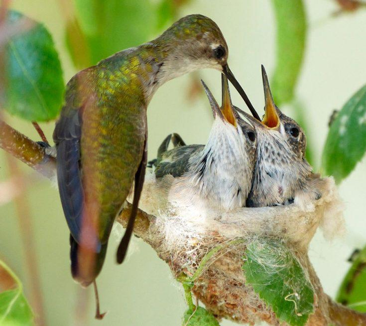 Размножение колибри