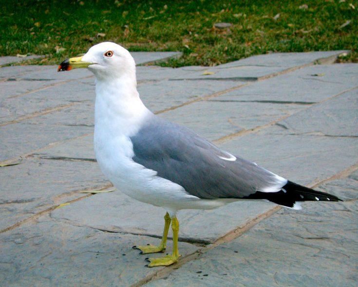 Чернохвостая чайка