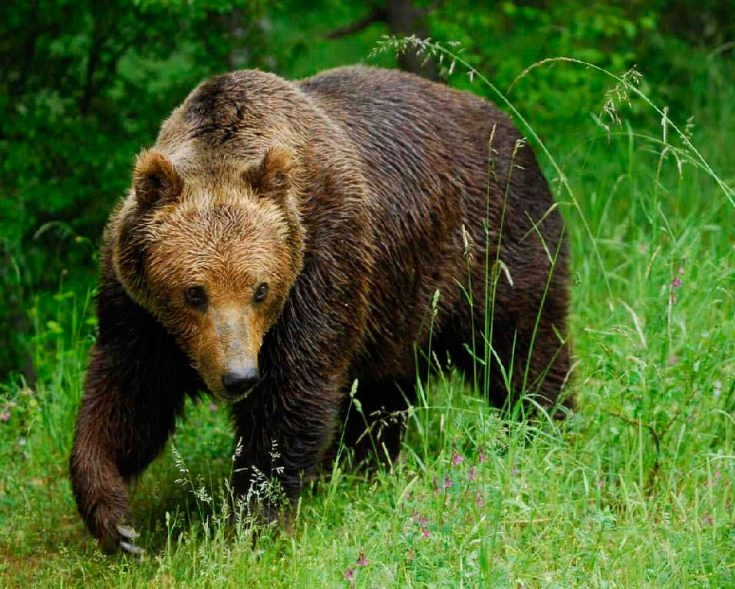 Апеннинский бурый медведь