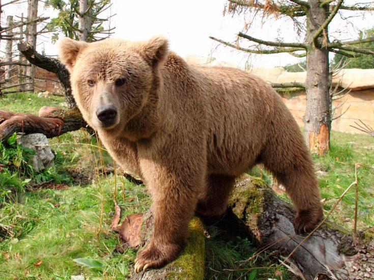 Тянь-шанский бурый медведь
