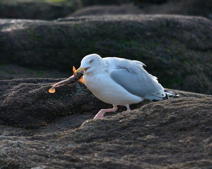 Что едят чайки