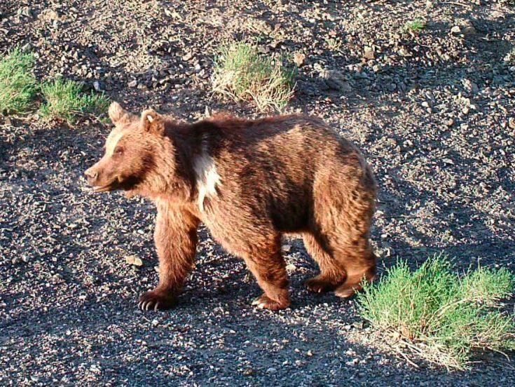 Гобийский бурый медведь