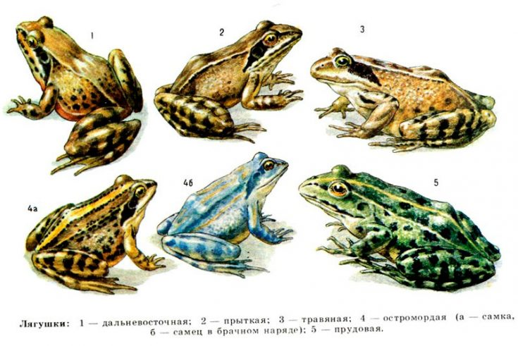 Виды лягушек