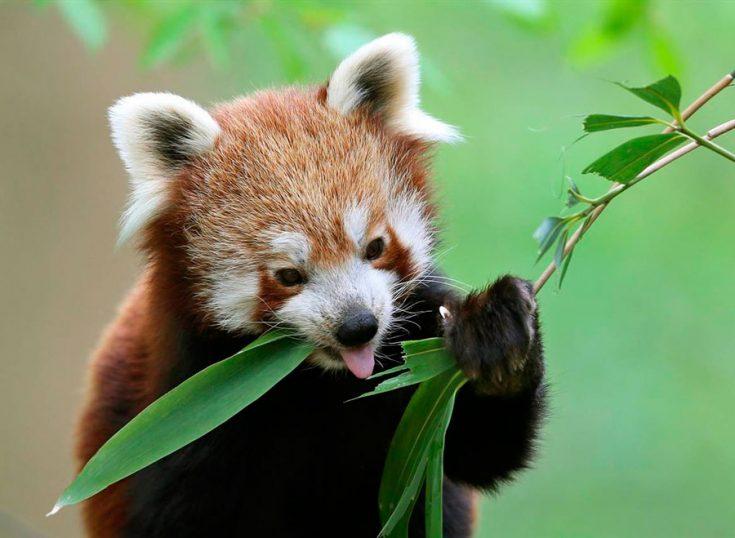 Что едят красные панды