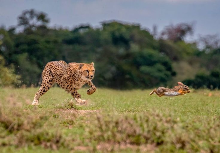 Что едят гепарды