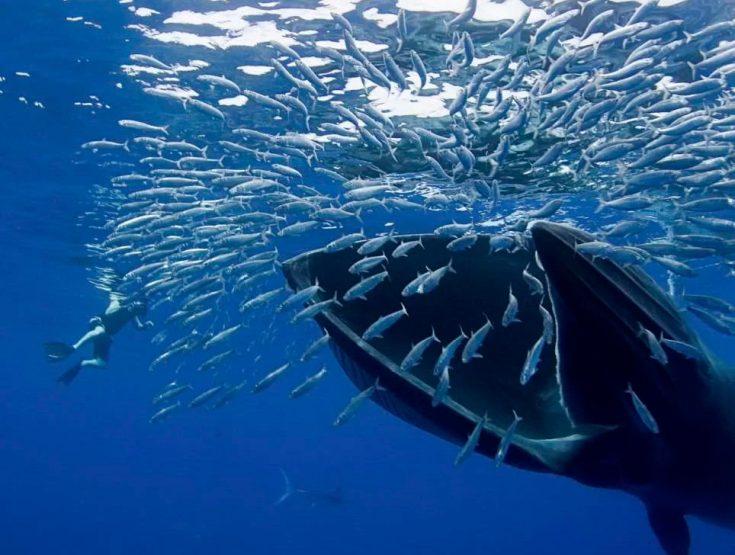 Чем питается синий кит