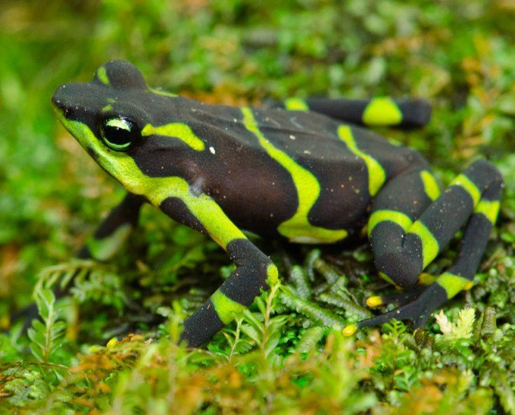 Самые ядовитые лягушки в мире
