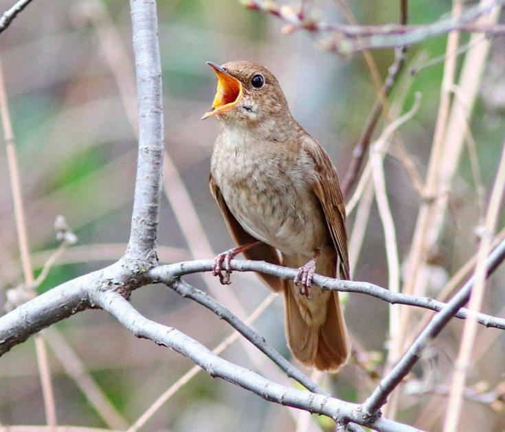 Птица соловей