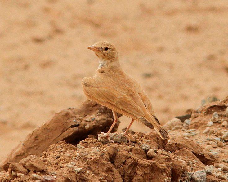 Пустынный жаворонок