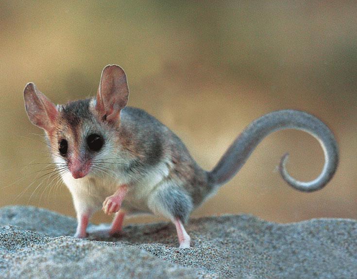 Мышиный опоссум