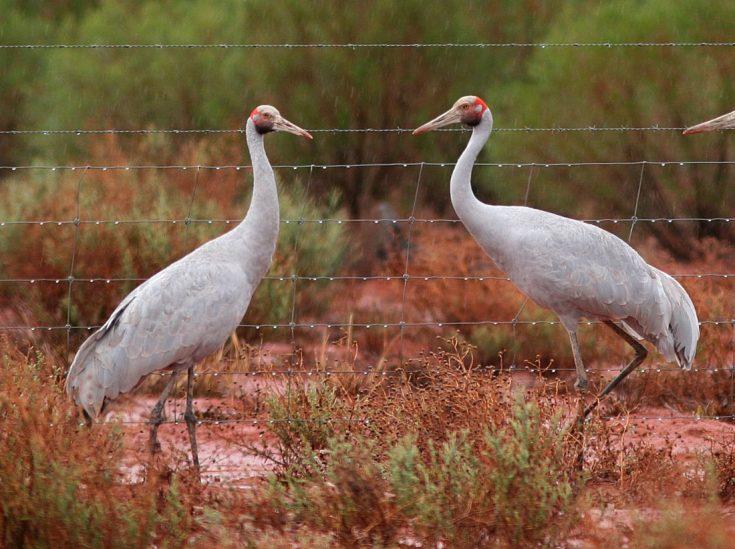 Австралийский журавль